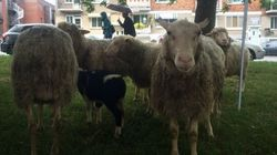 Flock Of Sheep Take Over Landscaping Duties At Montreal