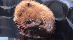 Baby Beaver Rescued In Calgary Is Pure Canadian