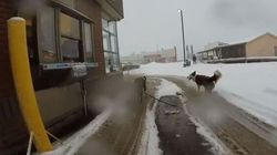 Only In Canada: Dogsled Pulls Owner To Timmies