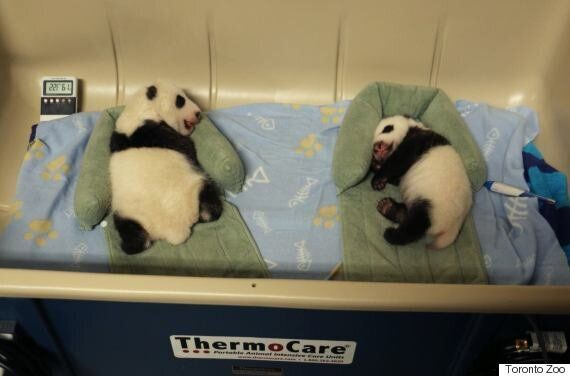 Toronto Zoo Giant Panda Cubs Are Getting More Adorable By The