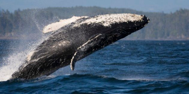 The Humpback Whale (Megaptera novaeangliae) is a mammal which belongs to the baleen whale suborder. It is a large whale: an adult usually ranges between 12 and 16 m (40 and 50 ft) long and weighs approximately 36,000 kilograms (79,000 pounds), or 36 tonnes (40 tons). It is well known for its breaching (leaping out of the water