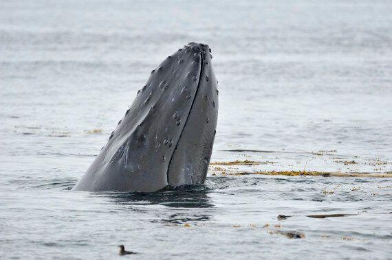 B.C. Coast Experiencing Rise In Humpback Whale
