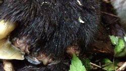 Mutilated Black Bear Found In Vancouver-Area