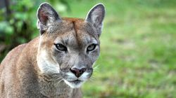 Woman CHASED By Cougar In