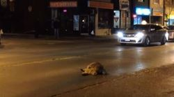 'Distressed' Raccoon Comforts Dead