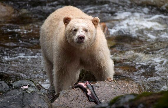 Great Bear Rainforest Hunting Negotiations To Cost