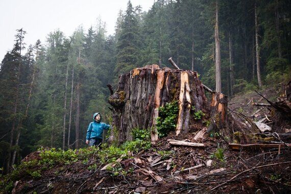 Logging In Ancient Walbran Valley Forest Spells Extinction for Unique Treetop