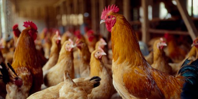 What's Good For Hens Is Good For