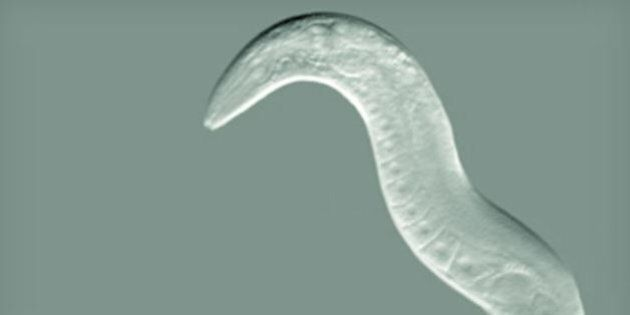 Mutant Worm Doesn't Get Drunk, Could Lead To Alcohol-Proof