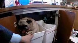 Man Comes Home To Find Pug In Quite A