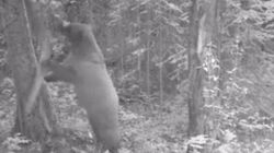 WATCH: This Bear Would Be Helpful During A Home