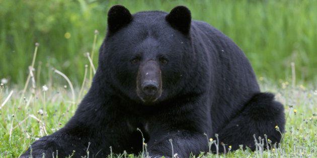 Wild, male American black bear (Ursus americanus) laying down or resting in summer grasses. Near Lake Superior, Ontario, Canada