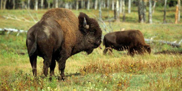 American bison or buffalo (Bison bison), bull, Elk Island Park, Alberta,