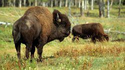 2 Bison Shot In 'Senseless' Alberta