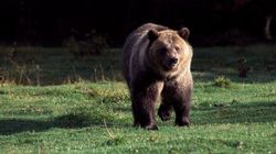 It Makes More Economic Sense To Shoot Grizzly Bears With Cameras Than