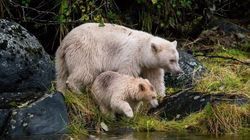 'Unprecedented' Deal Will Preserve Most Of B.C.'s Great Bear