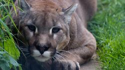 Cougar Killed After Lurking Near Calgary