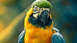 Pet Parrot Stolen,