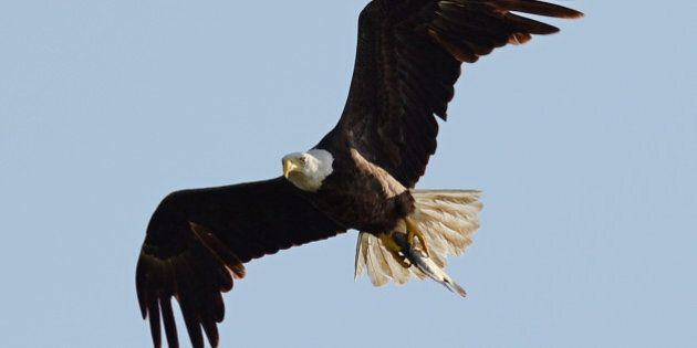 PEMBROKE PINES, FL - APRIL 28: American Bald Eagle is sighted on April 28, 2014 in Pembroke Pines, Florida....