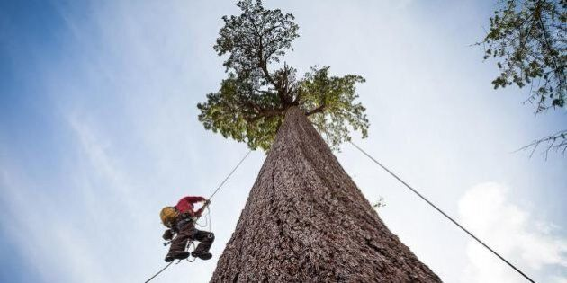 Tree Climbers Scale Canada's 2nd Largest Douglas-Fir