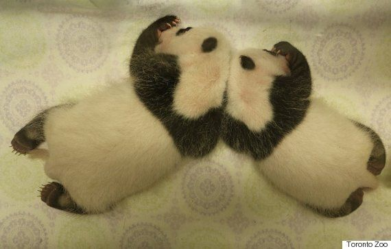 Toronto Zoo's Giant Panda Cubs Are Really Growing On