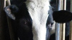 Alleged Animal Cruelty On Canada's Largest Dairy Farm