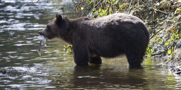 Grizzly catching salmon Glendale Cove British Columbia Canada