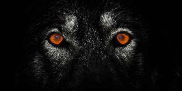 Wolves In B.C. Island Animals Mellower Vs. Mainland Counterparts, According To