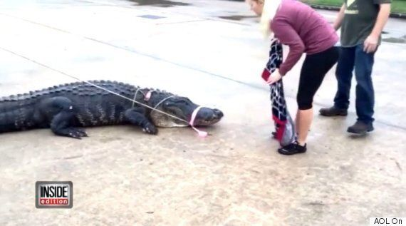 Enormous Gator Named Godzilla Shows Up At Texas Shopping
