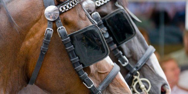 Blinkered horses, Ravensburg, Baden-Wurttemberg,