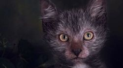 The Werewolf Cat Is Actually Real And It's Incredibly