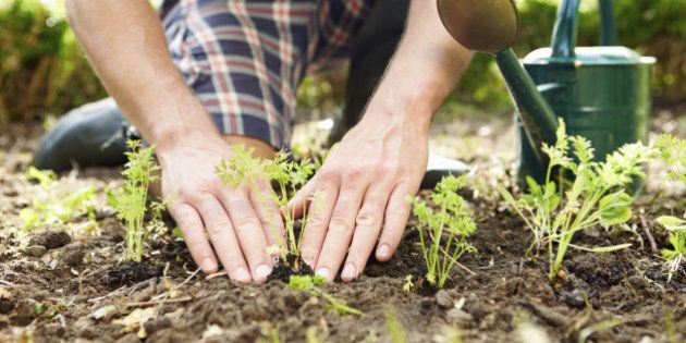Close Up Of Man Planting Seedlings In Ground On Allotment By