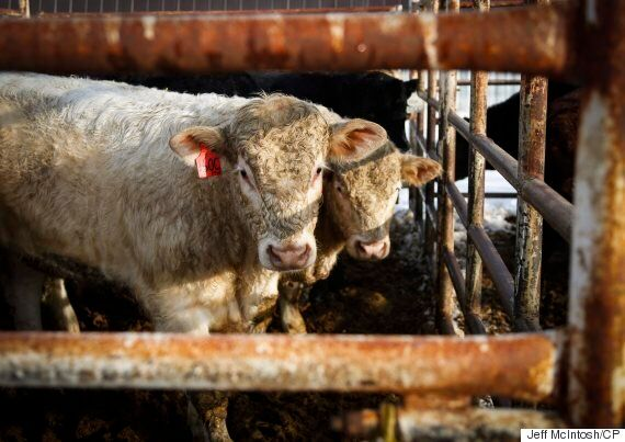 Cattle Rustling Is Still A Real Problem In The Canadian