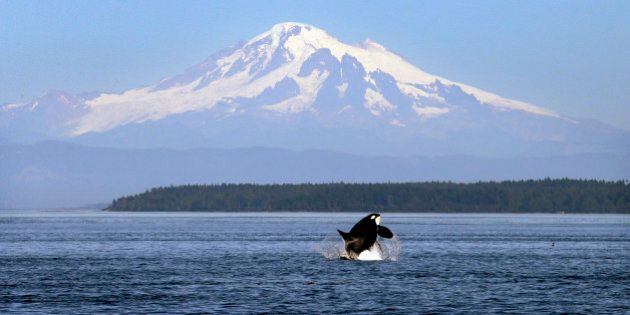 In this photo taken July 31, 2015, an orca whale breaches in view of Mount Baker, some 60 miles distant,...
