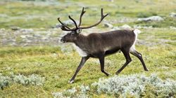 Facebook-Fuelled Caribou Trade Raises Concerns In
