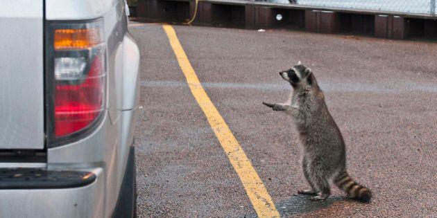 Ontario Rabies Outbreak Blamed On Hitchhiking American