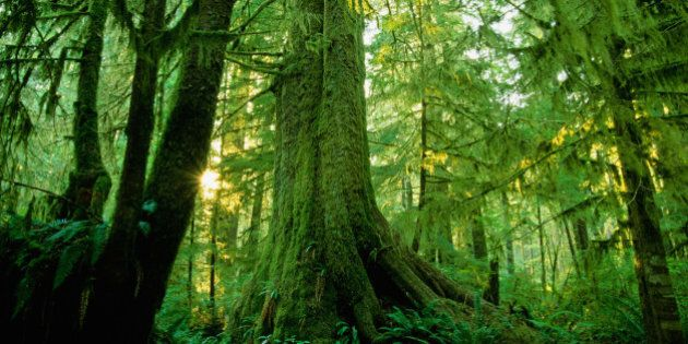 Forest Trees, Carmang Walbran Provincial Park, Vancouver Island,