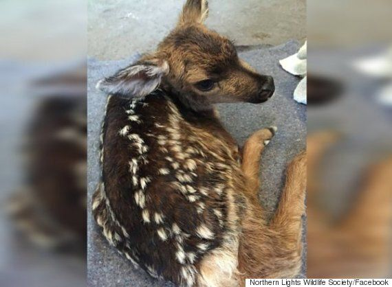Alberta Farmer Saves Fawn With Emergency C-Section On B.C.