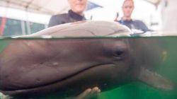 Rescued False Killer Whale Calf Reaches