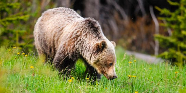 Wild Grizzly bear feeding on summer foliage, Kananaskis Country Alberta