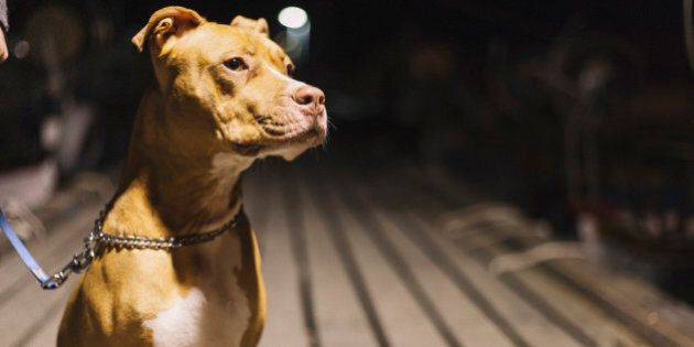 A pit bull is sitting on the pier.
