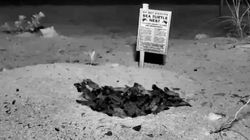 Watch This Tiny Army Of Sea Turtles Hatch In Front Of Your