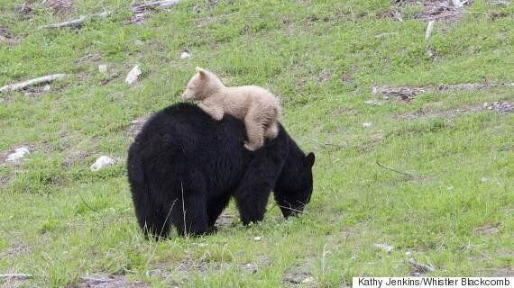 Cream-Coloured Black Bear Spotted Near Whistler,