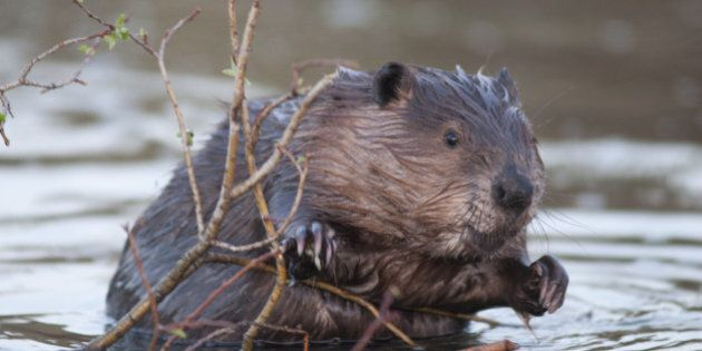 Beaver Chews Through Tree, Causes Accident In