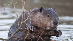 Beaver Causes Most Canadian Accident