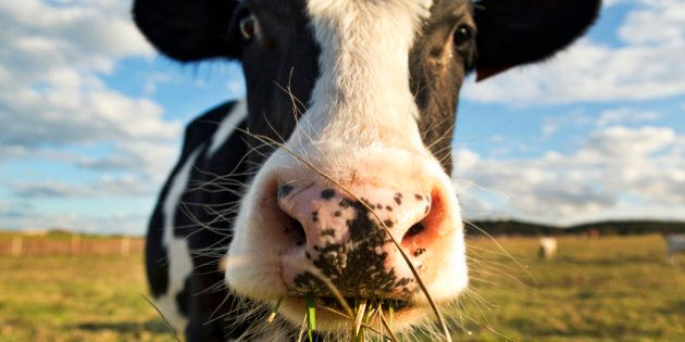 Farmhand Killed In Cow Attack On B.C.