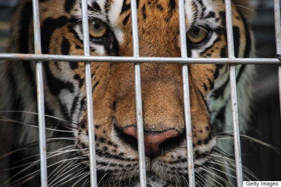 Thailand Tiger Temple Investigation Reveals Tiger