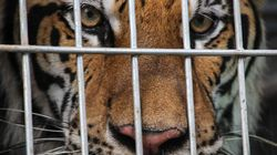 Thai Police Find Tiger Slaughterhouse In Temple
