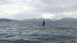Killer Whale Spotted Tangled In Fishing Rope Near Vancouver