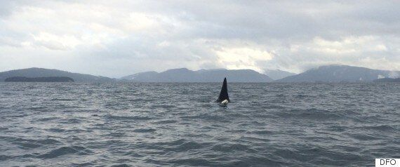 Tangled Killer Whale Spotted Near Nanaimo,